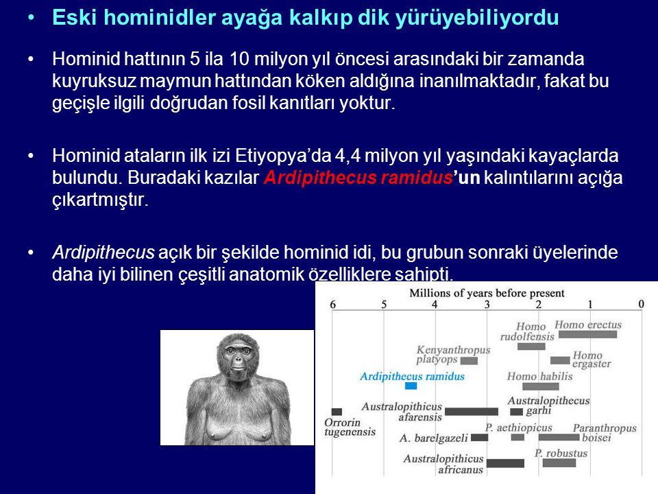 Eski hominidler ayağa kalkıp dik yürüyebiliyordu Hominid hattının 5 ila 10 milyon yıl öncesi arasındaki bir zamanda kuyruksuz maymun hattından köken a