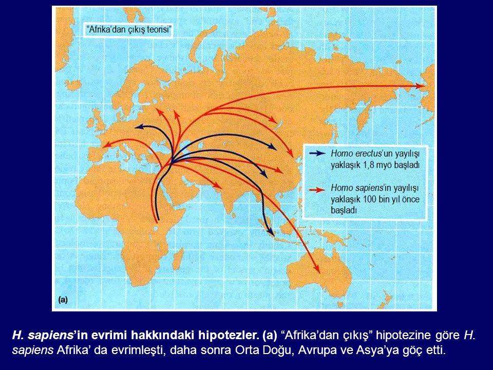 """H. sapiens'in evrimi hakkındaki hipotezler. (a) """"Afrika'dan çıkış"""" hipotezine göre H. sapiens Afrika' da evrimleşti, daha sonra Orta Doğu, Avrupa ve A"""