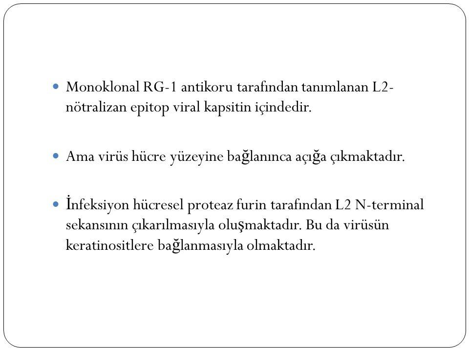 Monoklonal RG-1 antikoru tarafından tanımlanan L2- nötralizan epitop viral kapsitin içindedir.
