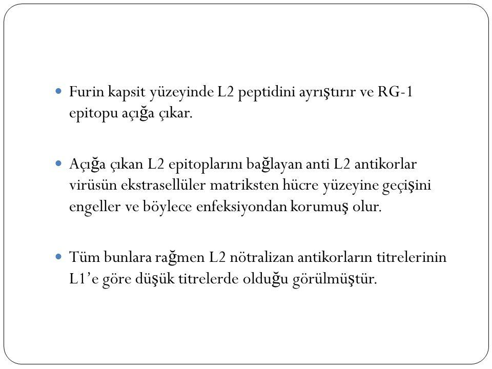 Furin kapsit yüzeyinde L2 peptidini ayrı ş tırır ve RG-1 epitopu açı ğ a çıkar. Açı ğ a çıkan L2 epitoplarını ba ğ layan anti L2 antikorlar virüsün ek