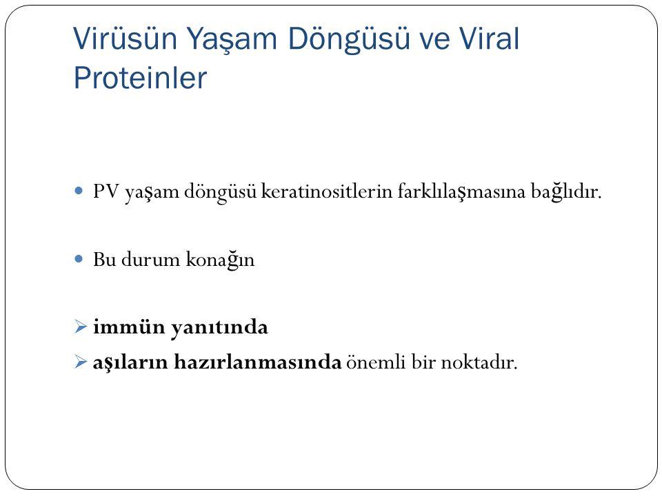 Virüsün Yaşam Döngüsü ve Viral Proteinler PV ya ş am döngüsü keratinositlerin farklıla ş masına ba ğ lıdır. Bu durum kona ğ ın  immün yanıtında  a ş