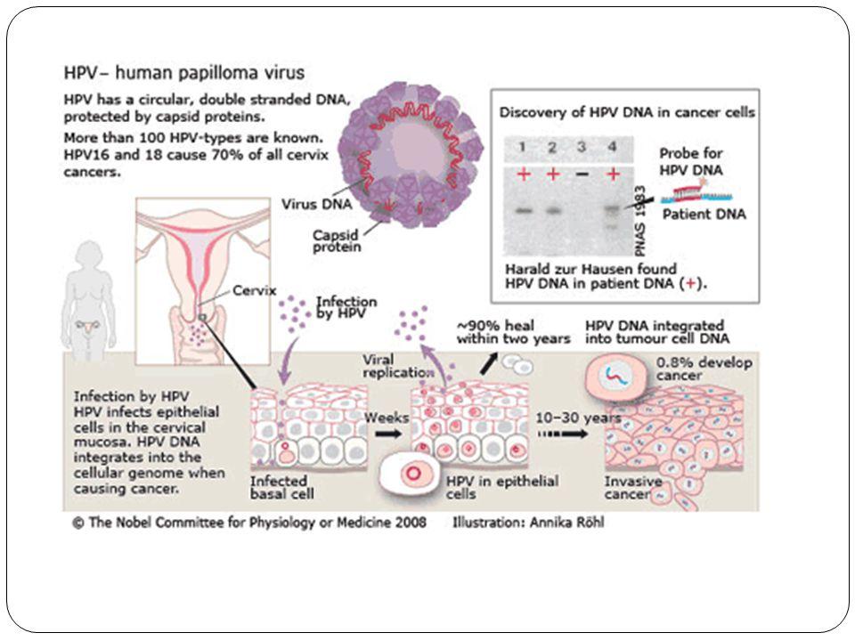 L1 Aşıları Bu a ş ılar BPV ve CRPV'nin L1 proteininden olu ş mu ş tur.