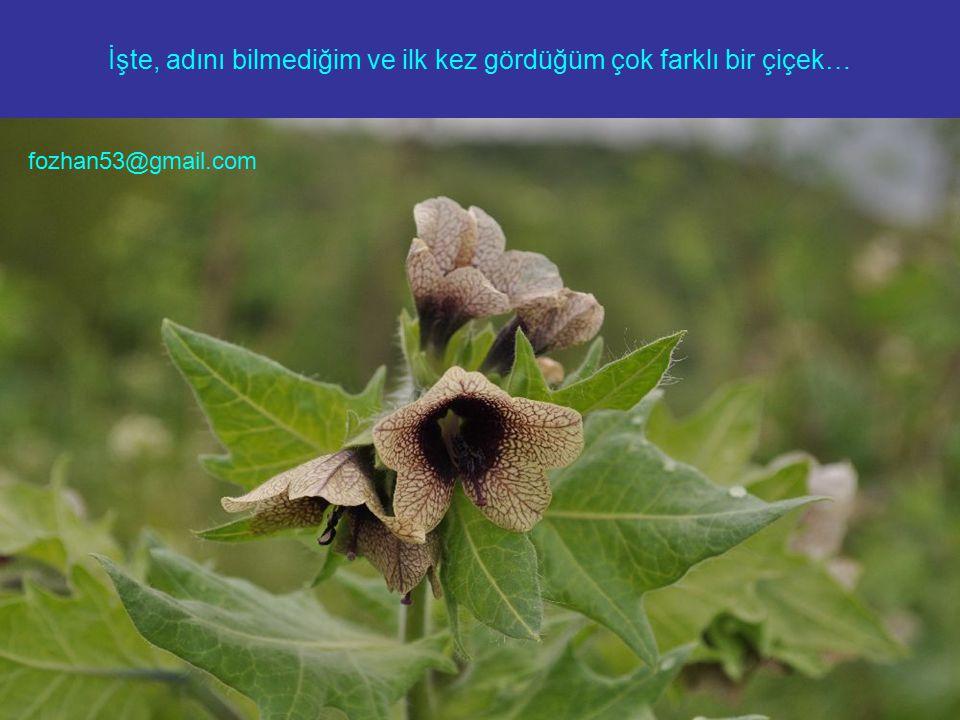 İşte, adını bilmediğim ve ilk kez gördüğüm çok farklı bir çiçek… fozhan53@gmail.com