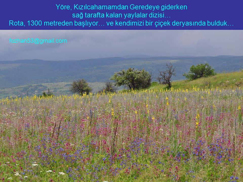 Yöre, Kızılcahamamdan Geredeye giderken sağ tarafta kalan yaylalar dizisi… Rota, 1300 metreden başlıyor… ve kendimizi bir çiçek deryasında bulduk… fozhan53@gmail.com