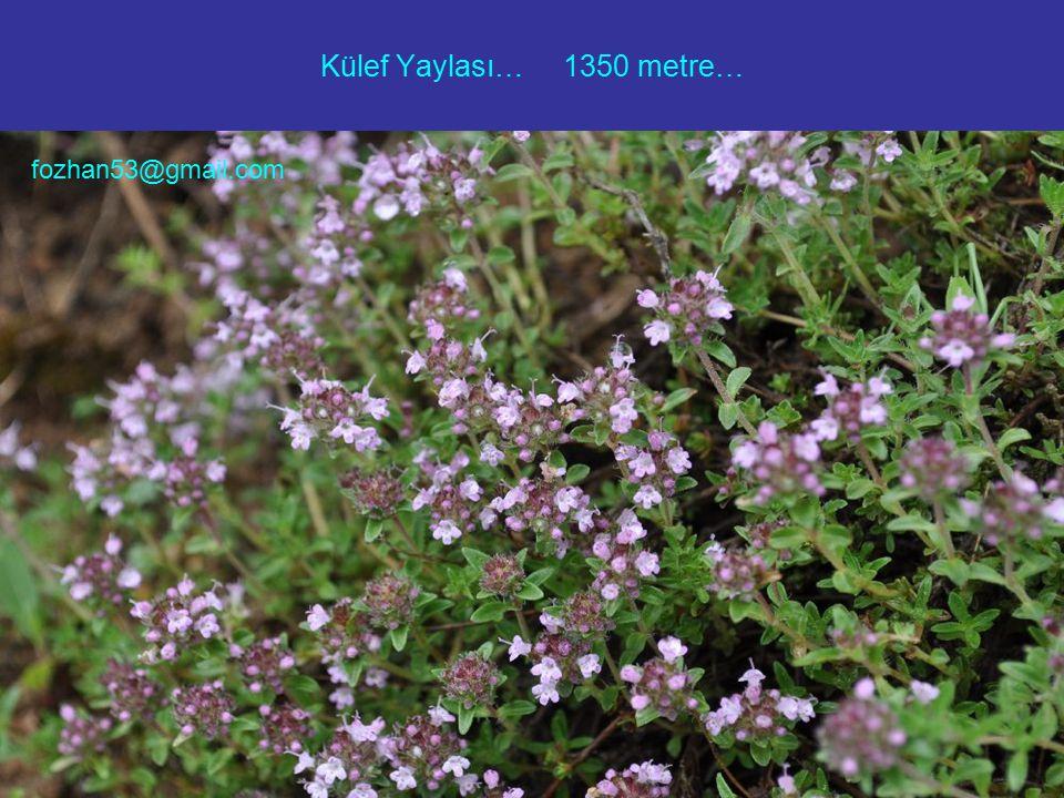 Külef Yaylası… 1350 metre… fozhan53@gmail.com