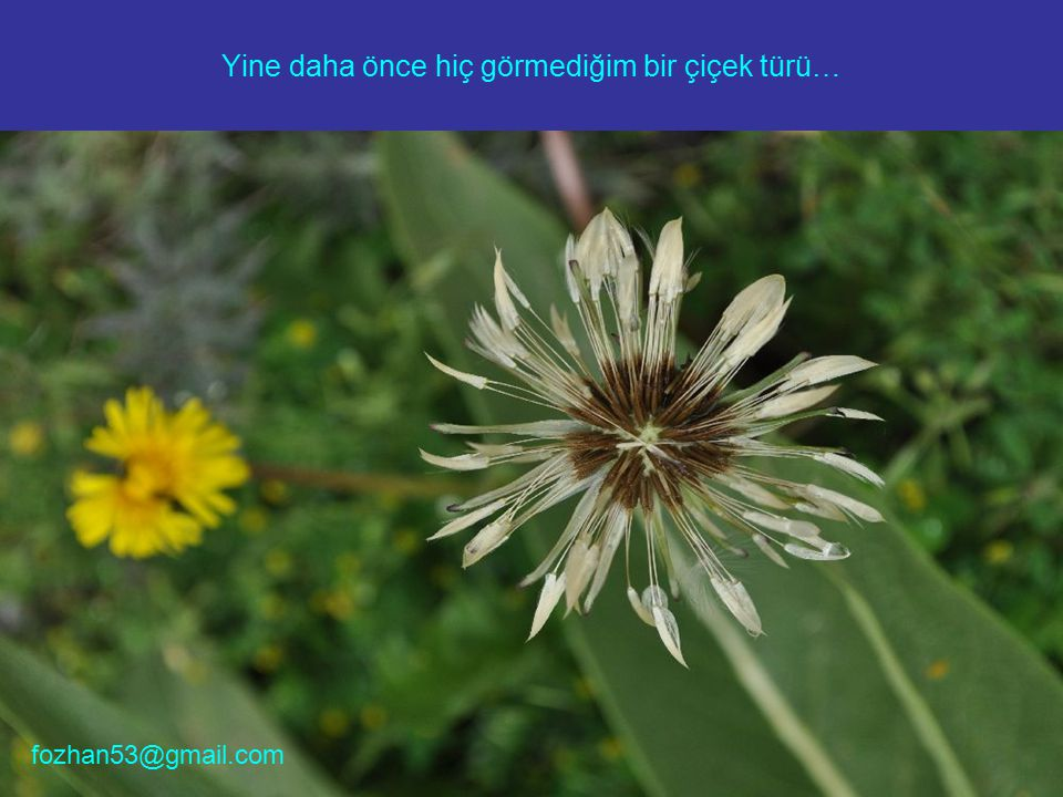 Yine daha önce hiç görmediğim bir çiçek türü… fozhan53@gmail.com