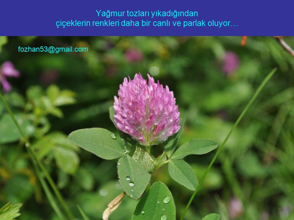 Yağmur tozları yıkadığından çiçeklerin renkleri daha bir canlı ve parlak oluyor… fozhan53@gmail.com