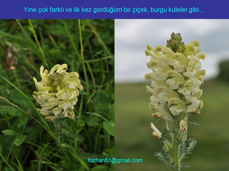 Yine çok farklı ve ilk kez gördüğüm bir çiçek, burgu kuleler gibi… fozhan53@gmail.com