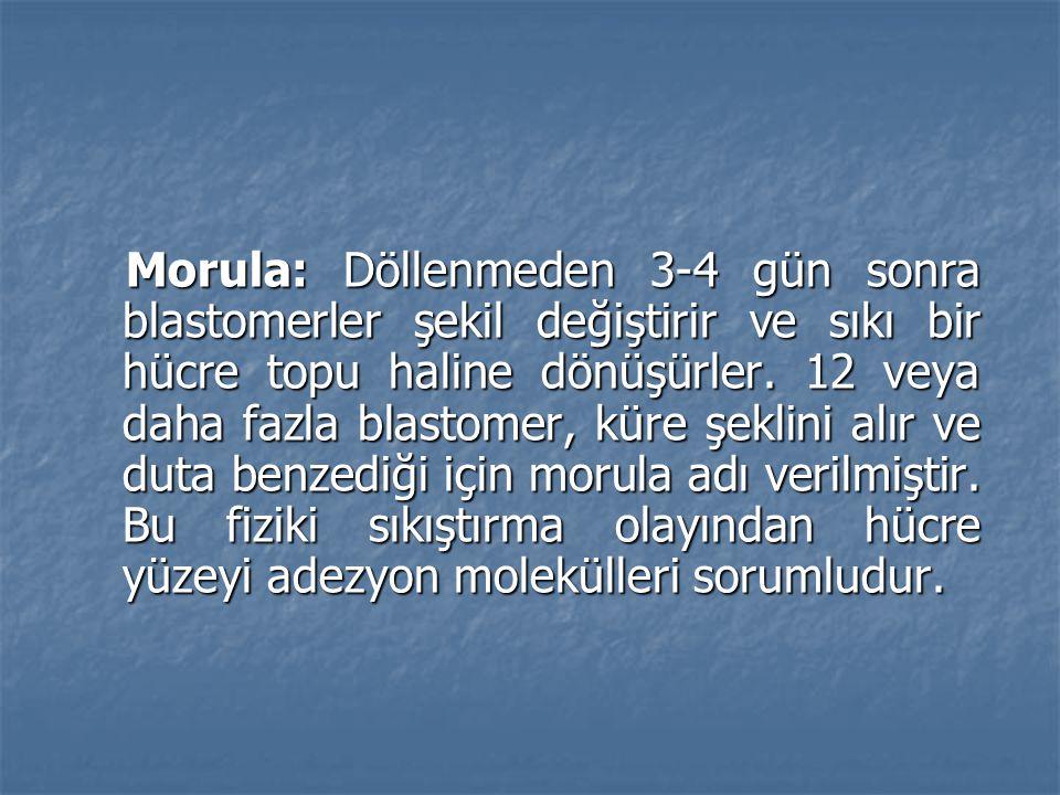 Morula: Döllenmeden 3-4 gün sonra blastomerler şekil değiştirir ve sıkı bir hücre topu haline dönüşürler.