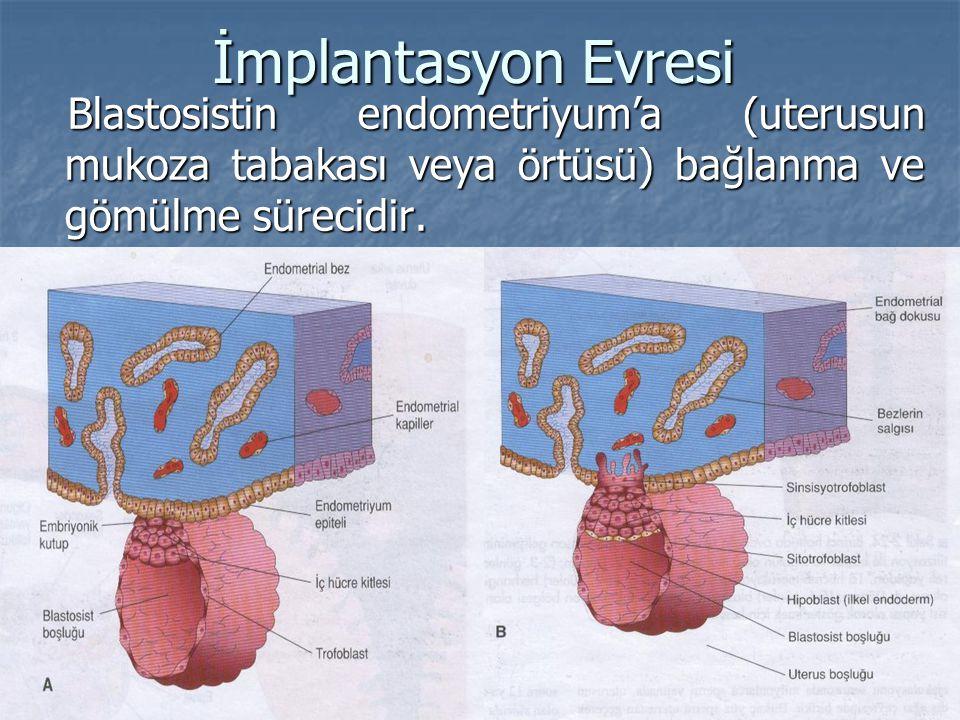 İmplantasyon Evresi Blastosistin endometriyum'a (uterusun mukoza tabakası veya örtüsü) bağlanma ve gömülme sürecidir. Blastosistin endometriyum'a (ute