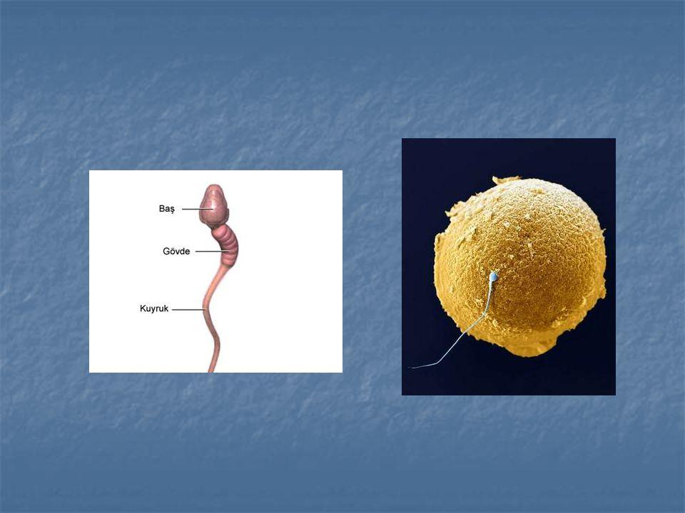 Döllenmiş ovum: İçerisine sperm girmiş bir Döllenmiş ovum: İçerisine sperm girmiş bir sekonder oositi ifade eder.