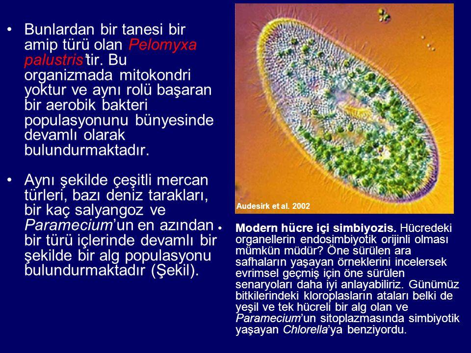 Bunlardan bir tanesi bir amip türü olan Pelomyxa palustris'tir. Bu organizmada mitokondri yoktur ve aynı rolü başaran bir aerobik bakteri populasyonun