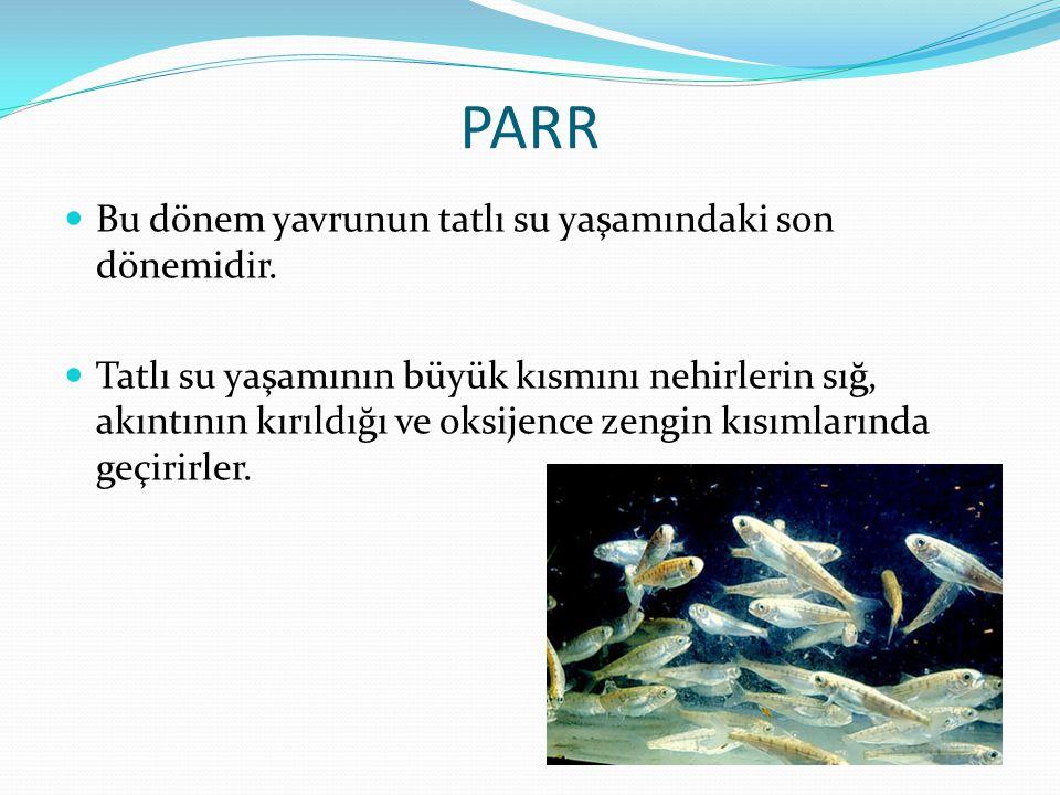 PARR Bu dönem yavrunun tatlı su yaşamındaki son dönemidir.
