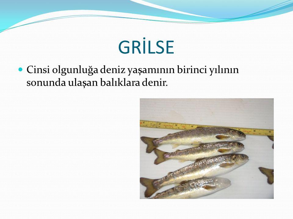 GRİLSE Cinsi olgunluğa deniz yaşamının birinci yılının sonunda ulaşan balıklara denir.