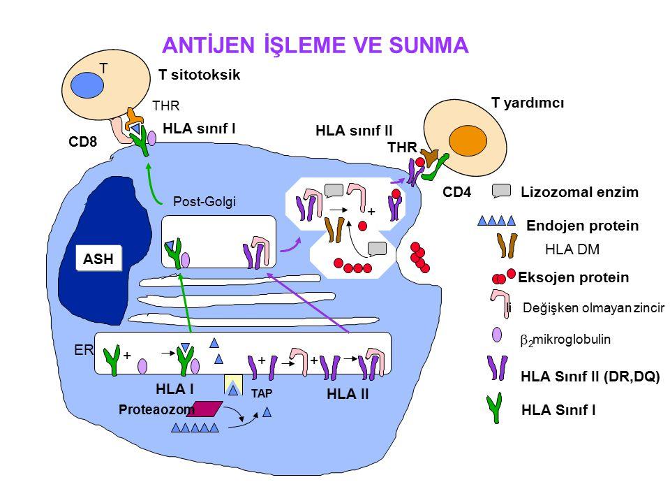 + + + CD4 THR T yardımcı TAP HLA I HLA II Proteaozom HLA Sınıf I HLA Sınıf II (DR,DQ) mikroglobulin Post-Golgi li Değişken olmayan zincir Eksojen protein ER CD8 T THR Endojen protein Lizozomal enzim + HLA sınıf I HLA sınıf II T sitotoksik ANTİJEN İŞLEME VE SUNMA ASH  2 HLA DM