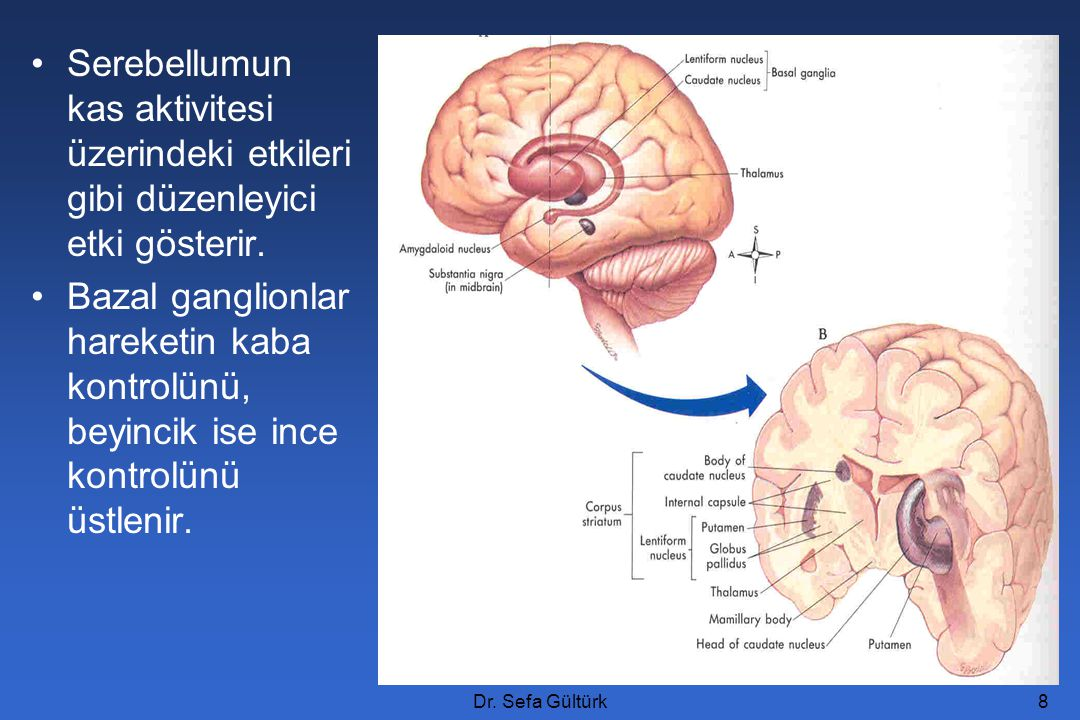 Dr. Sefa Gültürk8 Serebellumun kas aktivitesi üzerindeki etkileri gibi düzenleyici etki gösterir. Bazal ganglionlar hareketin kaba kontrolünü, beyinci