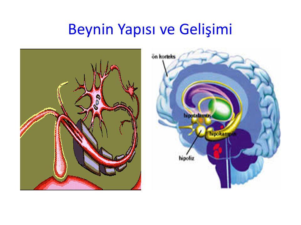 Beynin Yapısı ve Gelişimi