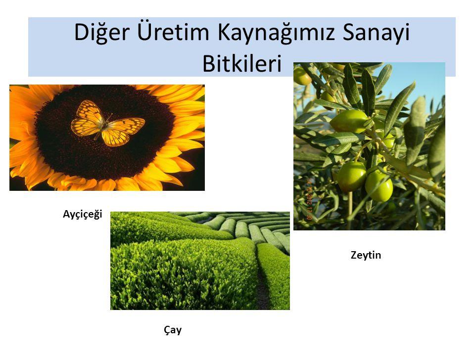 Diğer Üretim Kaynağımız Sanayi Bitkileri Ayçiçeği Zeytin Çay