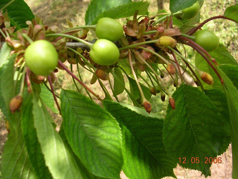 Kirazlarda, çiçek tozları çok iyi çimlenebildiği halde, çeşitlerin kendi kendini dölleyememesi veya birbirleri ile tozlandıkları halde meyve elde edilememesinin sebebi uyuşmazlıktır.