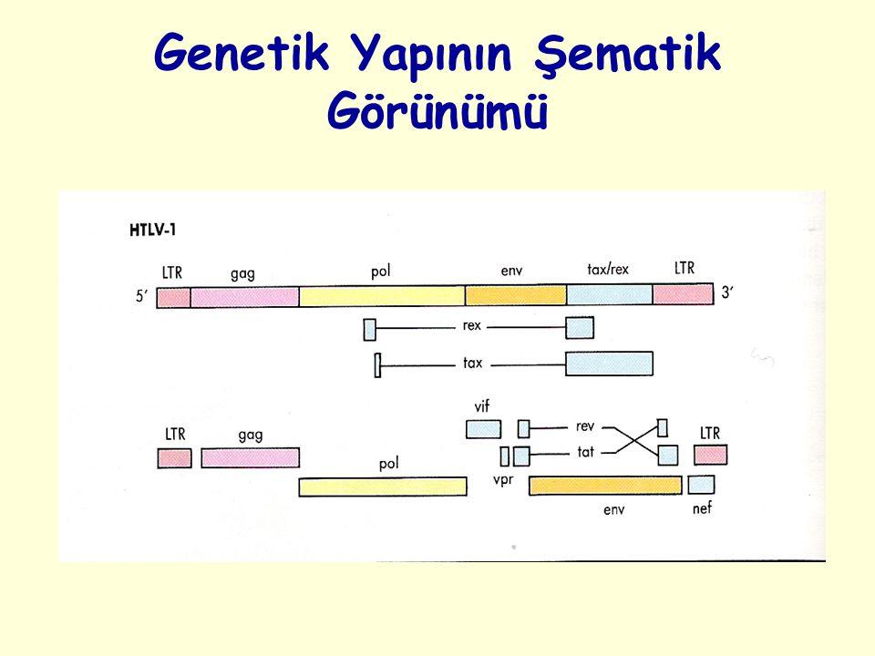 Genetik Yapının Şematik Görünümü