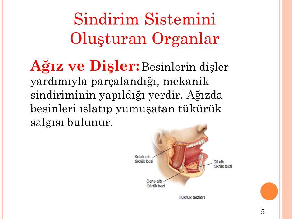 Sindirim Sistemini Oluşturan Organlar Ağız ve Dişler: Besinlerin dişler yardımıyla parçalandığı, mekanik sindiriminin yapıldığı yerdir. Ağızda besinle