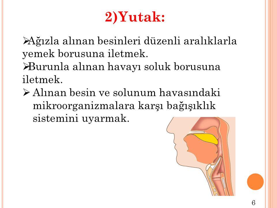 2)Yutak:  Ağızla alınan besinleri düzenli aralıklarla yemek borusuna iletmek.  Burunla alınan havayı soluk borusuna iletmek.  Alınan besin ve solun