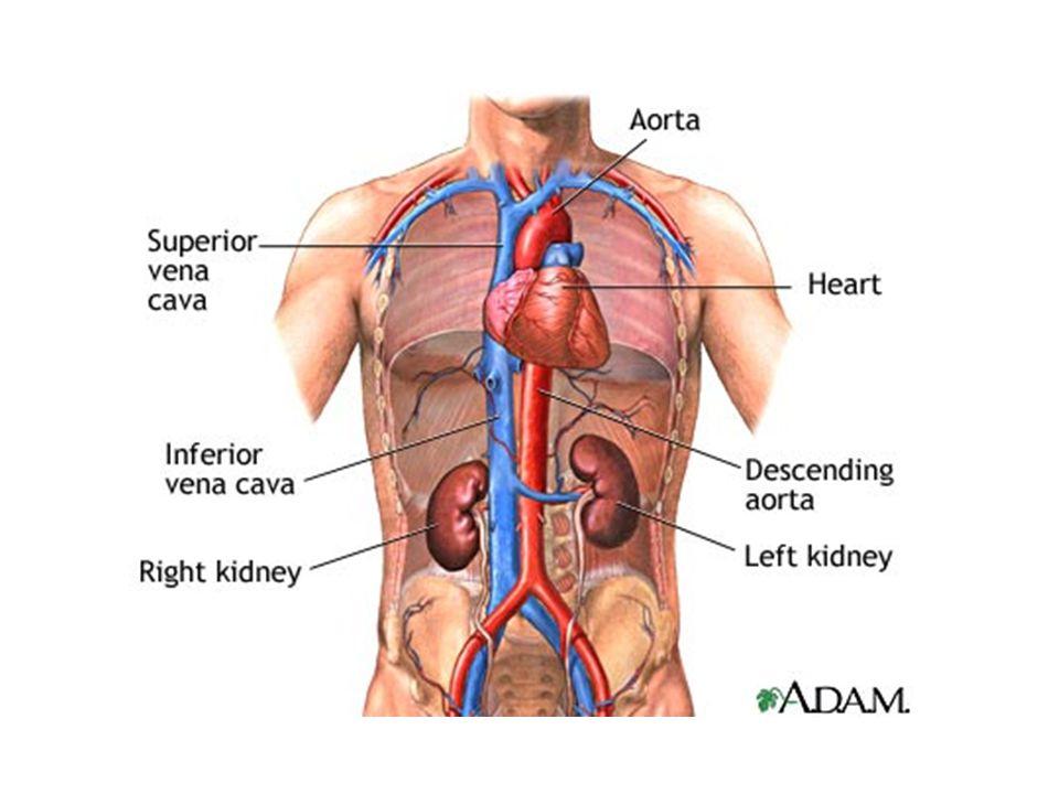 Filtrasyon Starling güçleri: Damar içi hidrolik basınç Damar içi onkotik basınç Bowman kapsül içi hidrolik basınç Bowman kapsül içi onkotik basınç
