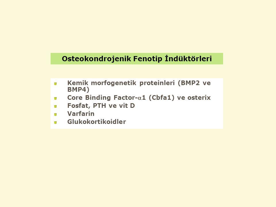 Osteokondrojenik Fenotip İndüktörleri Kemik morfogenetik proteinleri (BMP2 ve BMP4) Core Binding Factor-1 (Cbfa1) ve osterix Fosfat, PTH ve vit D Varfarin Glukokortikoidler