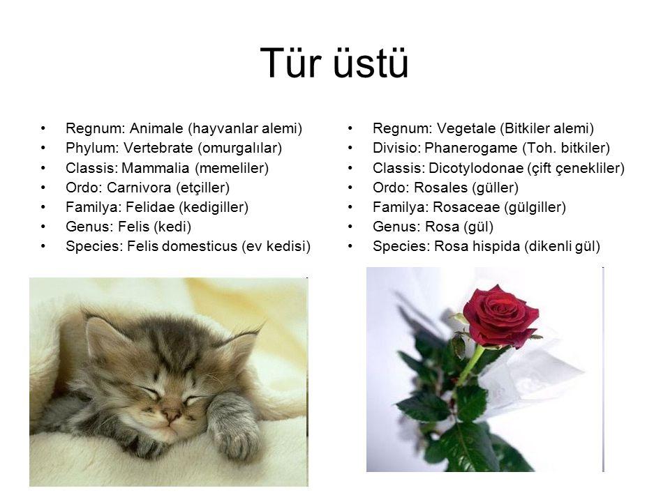 Tür üstü Regnum: Animale (hayvanlar alemi) Phylum: Vertebrate (omurgalılar) Classis: Mammalia (memeliler) Ordo: Carnivora (etçiller) Familya: Felidae