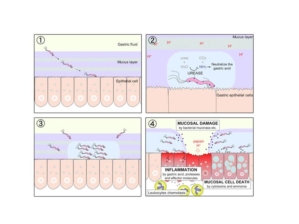 Hayvan modellerinde adhesinler, urease, heat şok proteinleri, HP-NAP ve vacA'ya karşı aşı geliştirilmeye çalışıldı.