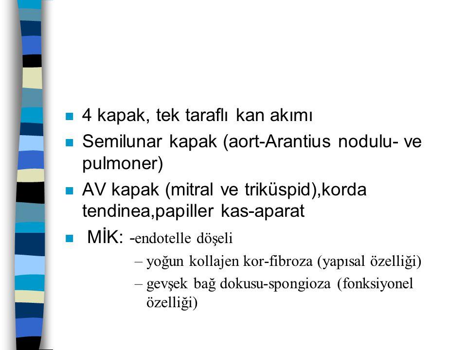 n 4 kapak, tek taraflı kan akımı n Semilunar kapak (aort-Arantius nodulu- ve pulmoner) n AV kapak (mitral ve triküspid),korda tendinea,papiller kas-aparat MİK: - endotelle döşeli –yoğun kollajen kor-fibroza (yapısal özelliği) –gevşek bağ dokusu-spongioza (fonksiyonel özelliği)