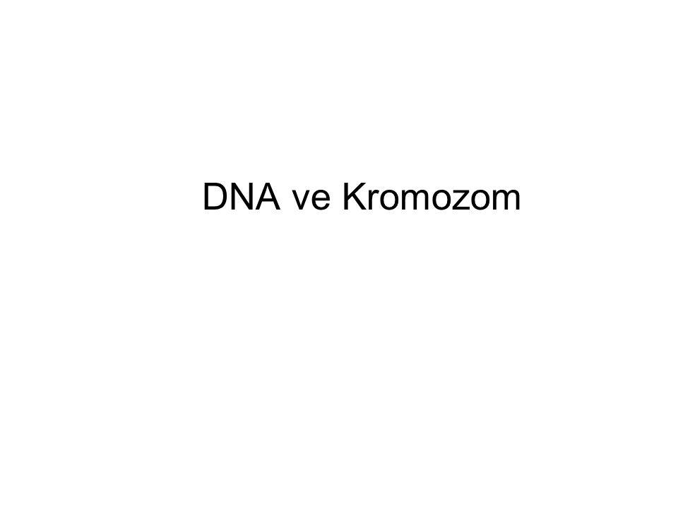 DNA ve Kromozom