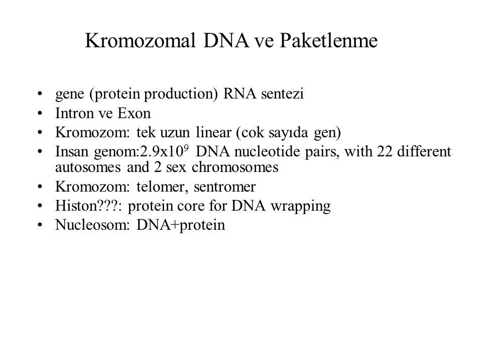 gene (protein production) RNA sentezi Intron ve Exon Kromozom: tek uzun linear (cok sayıda gen) Insan genom:2.9x10 9 DNA nucleotide pairs, with 22 different autosomes and 2 sex chromosomes Kromozom: telomer, sentromer Histon???: protein core for DNA wrapping Nucleosom: DNA+protein Kromozomal DNA ve Paketlenme