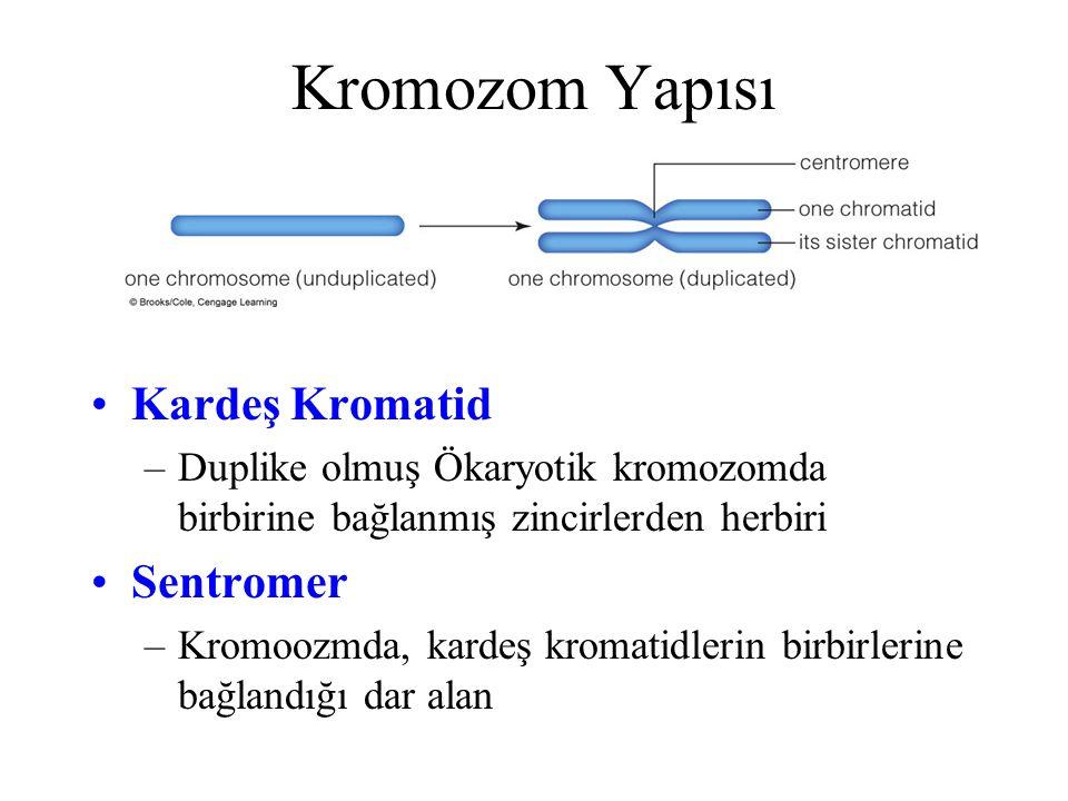 Kromozom Yapısı Kardeş Kromatid –Duplike olmuş Ökaryotik kromozomda birbirine bağlanmış zincirlerden herbiri Sentromer –Kromoozmda, kardeş kromatidlerin birbirlerine bağlandığı dar alan