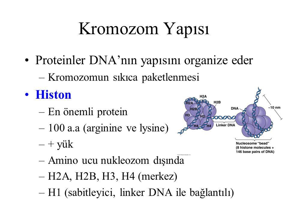 Kromozom Yapısı Proteinler DNA'nın yapısını organize eder –Kromozomun sıkıca paketlenmesi Histon –En önemli protein –100 a.a (arginine ve lysine) –+ y