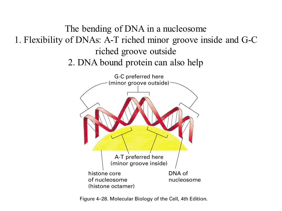 The bending of DNA in a nucleosome 1. Flexibility of DNAs: A-T riched minor groove inside and G-C riched groove outside 2. DNA bound protein can also