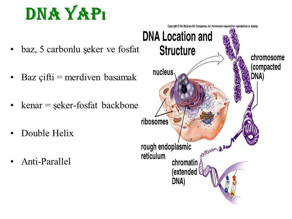 baz, 5 carbonlu şeker ve fosfat Baz çifti = merdiven basamak kenar = şeker-fosfat backbone Double Helix Anti-Parallel DNA yap ı