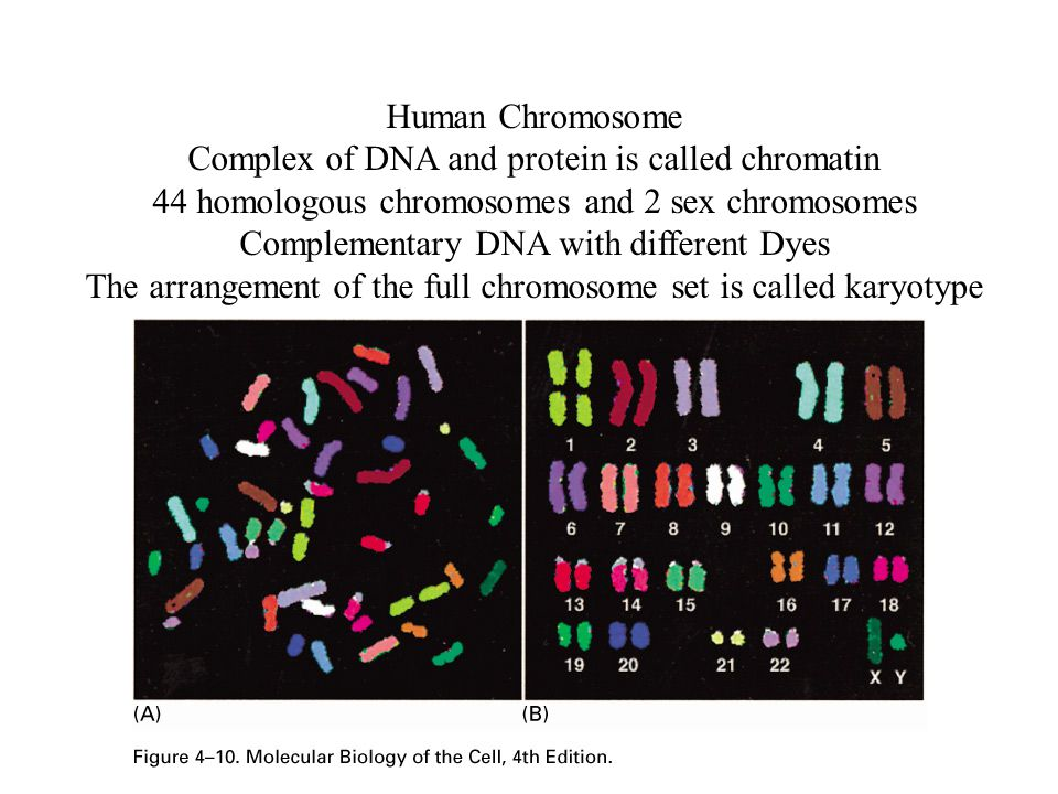Human Chromosome Complex of DNA and protein is called chromatin 44 homologous chromosomes and 2 sex chromosomes Complementary DNA with different Dyes The arrangement of the full chromosome set is called karyotype
