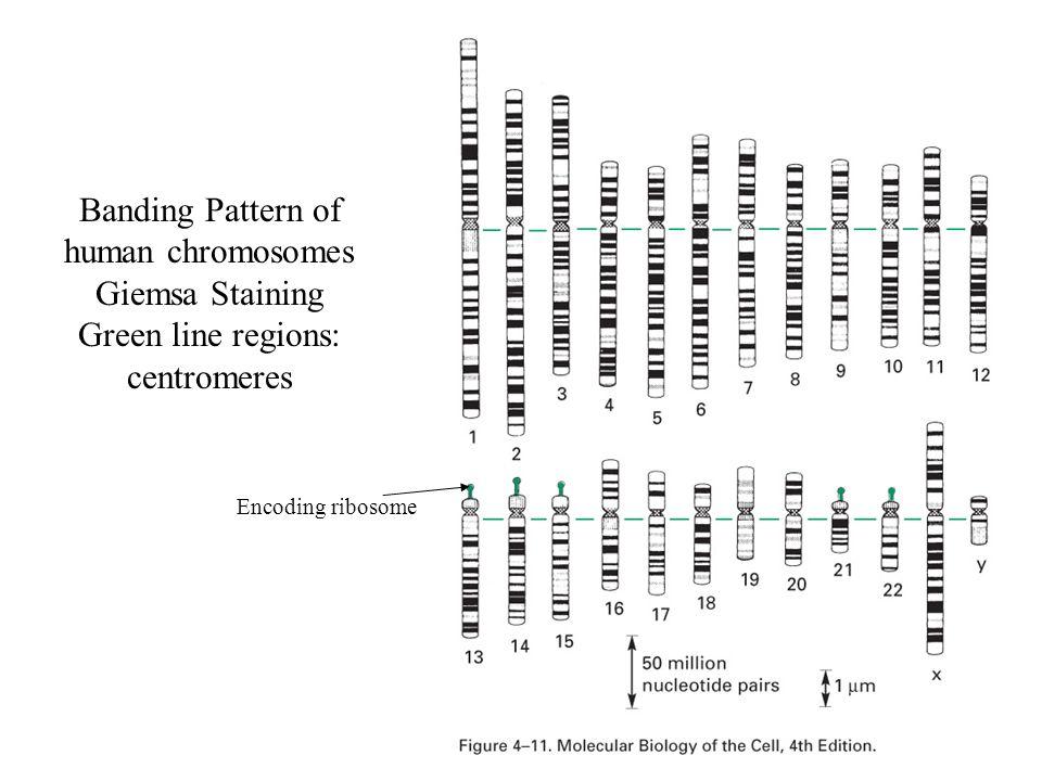 Banding Pattern of human chromosomes Giemsa Staining Green line regions: centromeres Encoding ribosome