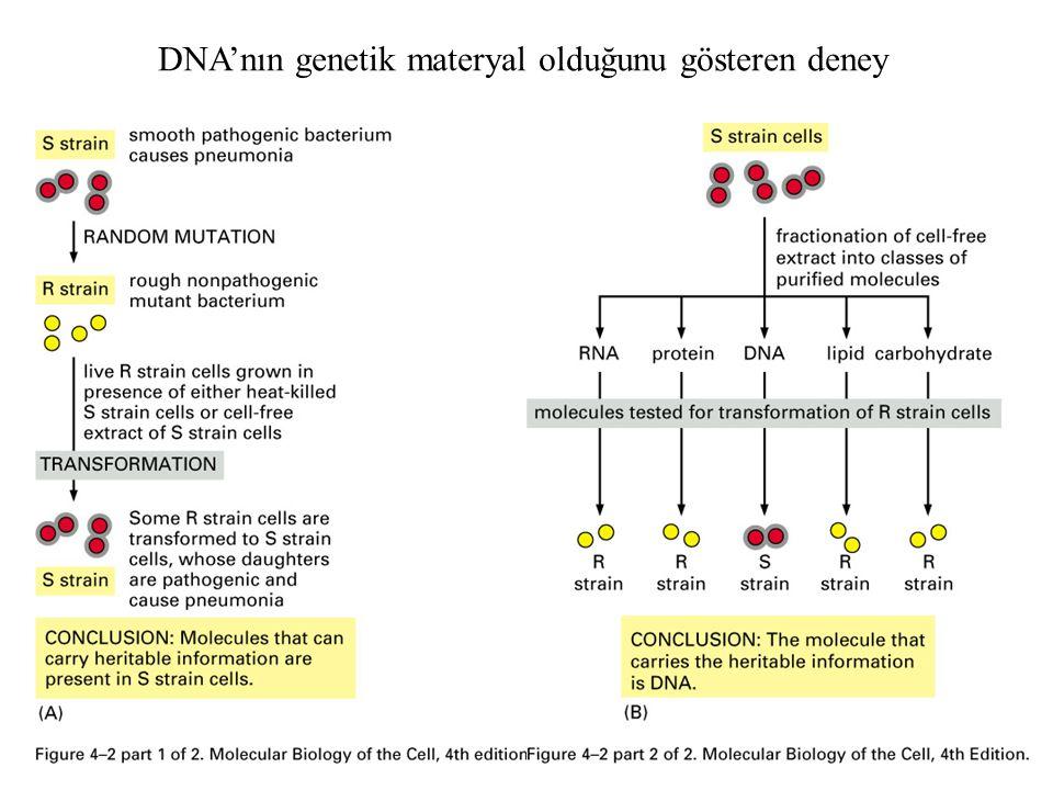 Genetik bilgi DNAdaki linear sekanslarda taşınır Genetic bilgi protein sentezi için gerekli bilgiyi taşır DNA; double helix (anti paralel) (complimentary strands) Hidrojen bağ A-T (2 bağ) ve G-C (3 bağ) DNA duplikasyonu: tek DNA zinciri (strand) DNA Okaryotta nukleus içinde DNA