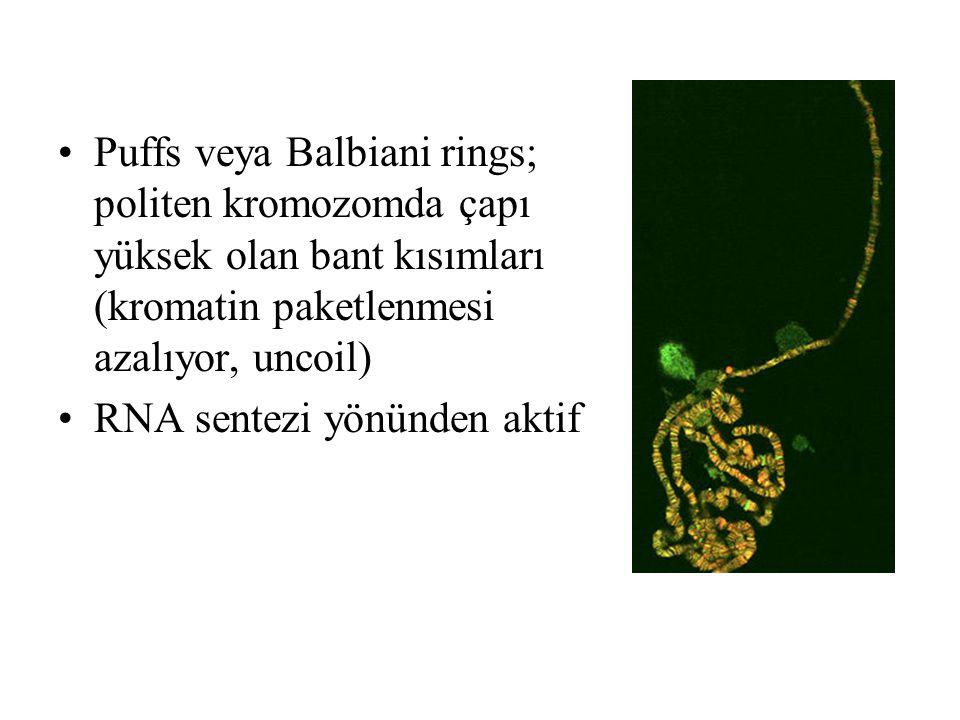 Puffs veya Balbiani rings; politen kromozomda çapı yüksek olan bant kısımları (kromatin paketlenmesi azalıyor, uncoil) RNA sentezi yönünden aktif