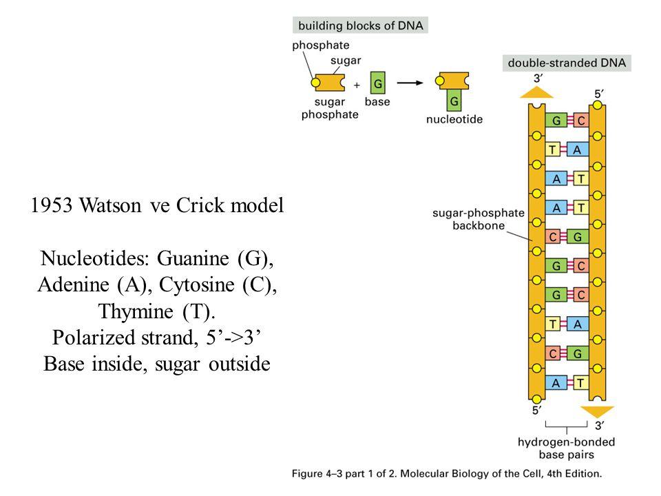 1953 Watson ve Crick model Nucleotides: Guanine (G), Adenine (A), Cytosine (C), Thymine (T). Polarized strand, 5'->3' Base inside, sugar outside