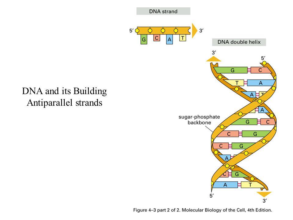 Sentromer Genelde kromozom orta hatta yakın dar bölge Satellit DNA Kardeş kromtidler bir arada Kinetekor Heterokromatik Metasentrik, submetasentrik, akrosentrik, telosentrik