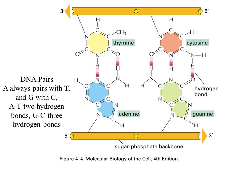 DNA Pairs A always pairs with T, and G with C, A-T two hydrogen bonds, G-C three hydrogen bonds