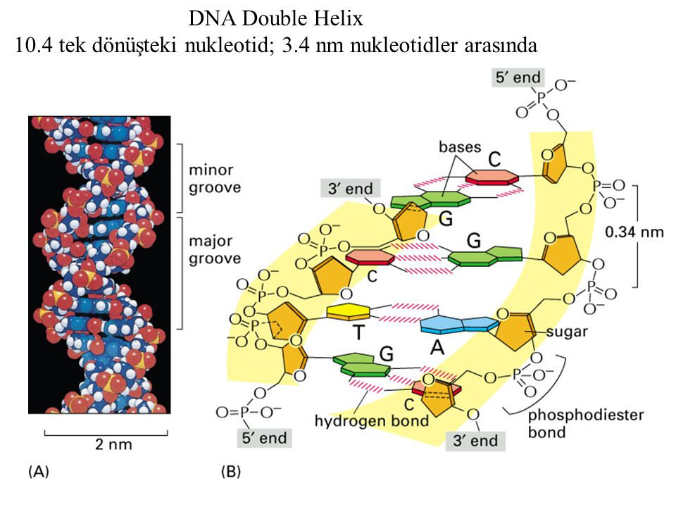 The bending of DNA in a nucleosome 1.