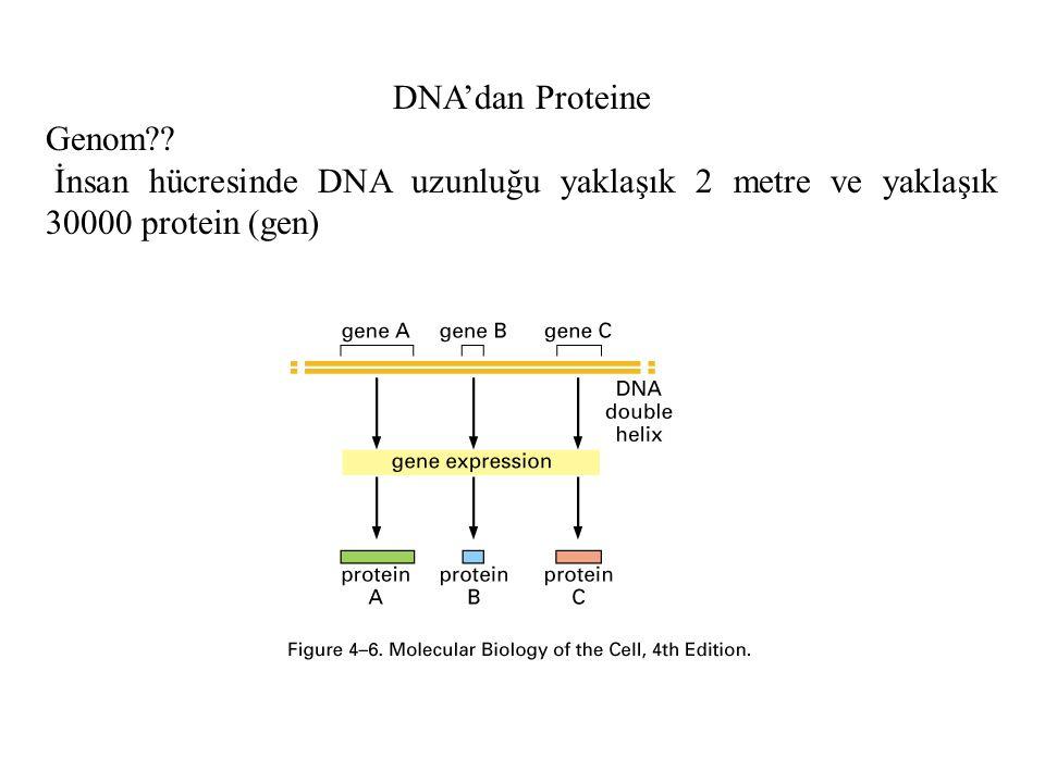 DNA'dan Proteine Genom?? İnsan hücresinde DNA uzunluğu yaklaşık 2 metre ve yaklaşık 30000 protein (gen)
