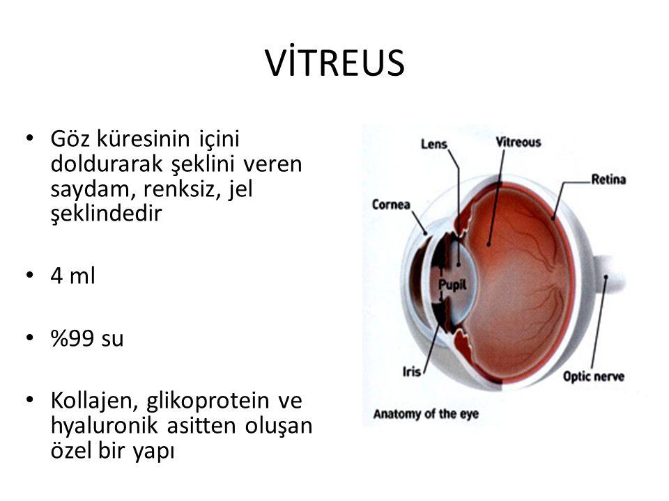 VİTREUS Göz küresinin içini doldurarak şeklini veren saydam, renksiz, jel şeklindedir 4 ml %99 su Kollajen, glikoprotein ve hyaluronik asitten oluşan