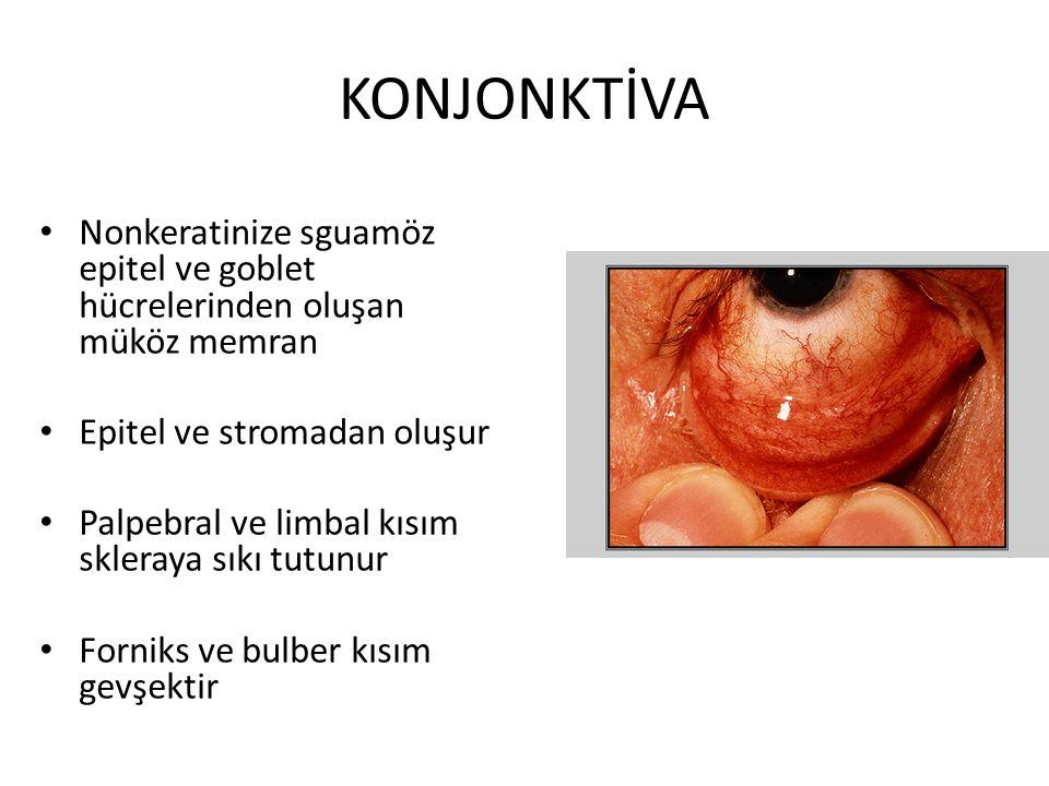 KONJONKTİVA Nonkeratinize sguamöz epitel ve goblet hücrelerinden oluşan müköz memran Epitel ve stromadan oluşur Palpebral ve limbal kısım skleraya sık