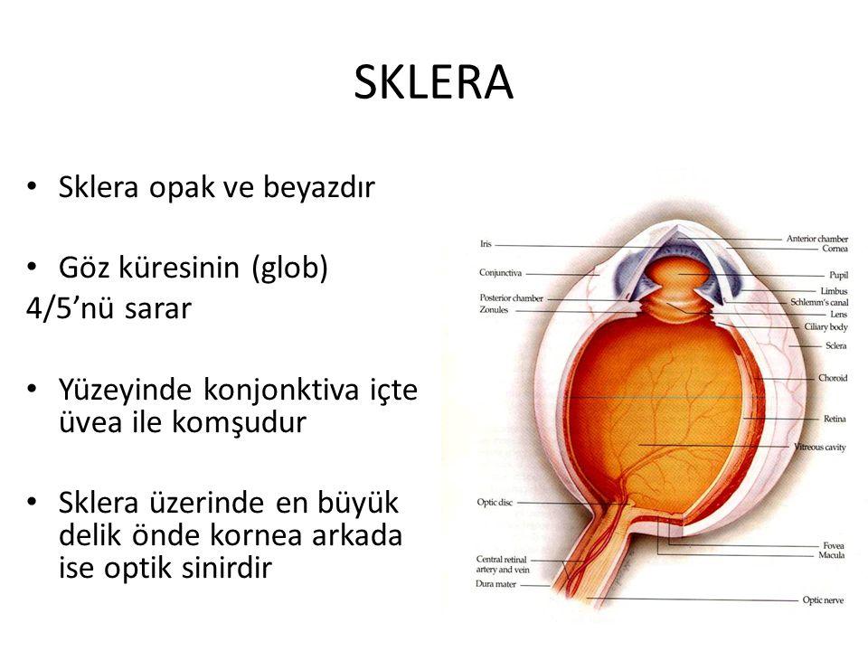 KORNEA Göz küresinin ön kısmında 1/6 lık kısmı oluşturan avasküler, saydam tabaka Merkezde en ince perifer de en kalındır (0.52-0.65 mm) Kırma gücü ortalama 43 dpt (Gözün en güçlü kırıcı ortamı) Göze girip çıkan metabolitlerin geçiş yoludur Trigeminal sinirin 1.