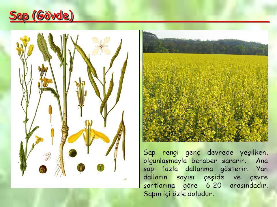 Sap (Gövde) Sap rengi genç devrede yeşilken, olgunlaşmayla beraber sararır.